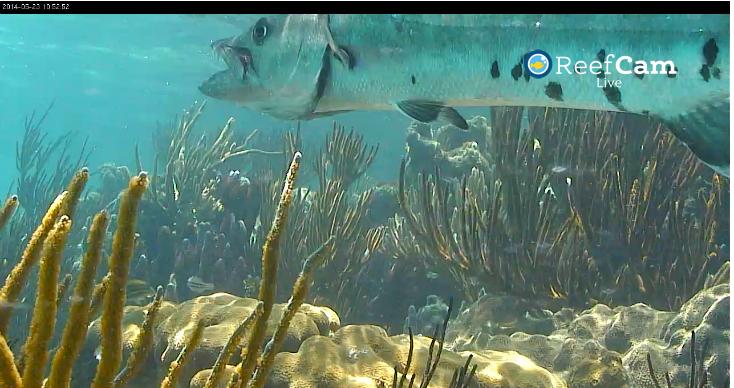 ReefCam Barracuda