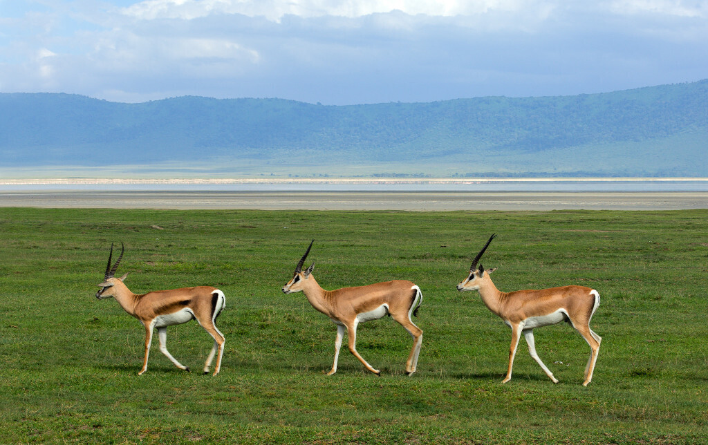 Serengeti Management-Gazelles