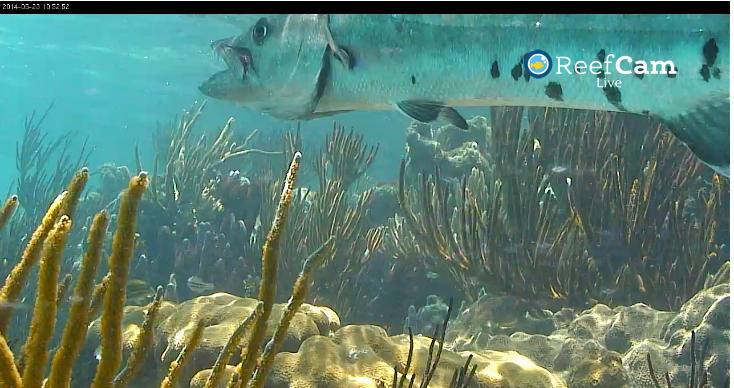 ReefCam Barracuda