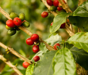 The coffee plant, far before it makes its way to your cup.